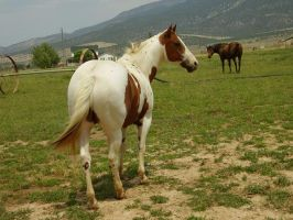 Paint Gelding 10 .:Stock:. by WesternStock