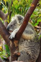 Wide eyed Koala sees Monday coming... by Celem