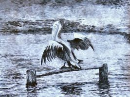 Pelican at Jervis bay. by Trinity23