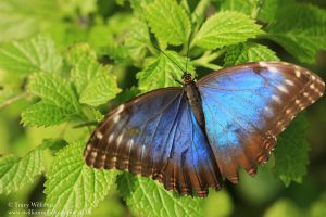 Blue Morpho Butterfly 2 by twilliamsphotography