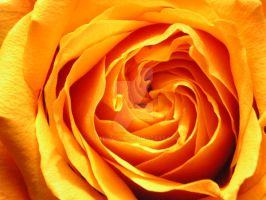 Rose yellow3 by GreenMusic