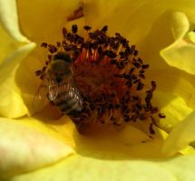 Bumblebee in yellow flower by WisteriasWeb
