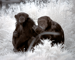 Chimps in IR by bmh1