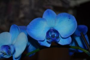 Blue Orchid 4 by Singing-Wolf-12