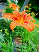 Tiger Lily by padawan71