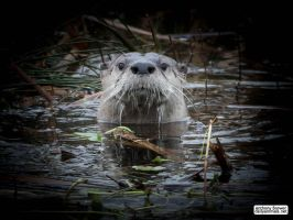 Otter is watching you by jaffa-tamarin