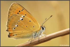 Lycaena virgaureae by Dark-Raptor