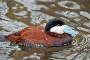 Ruddy Duck by robbobert