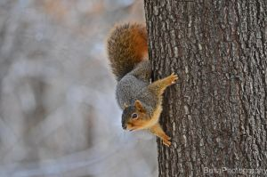 Fox Squirrel by BullaPhotography