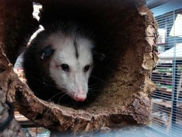 Opossum. by sunnytally