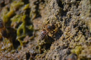 Bee On Limestone Bank by A-Sped-Kid