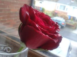 Rose Stock 2 by emmys-stock