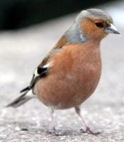 condescending chaffinch by karliosi