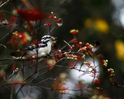 Downy Woodpecker and White Berries by S-H-Photography