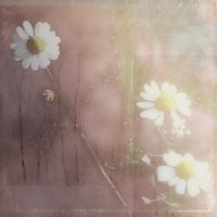 camomiles by Amalus