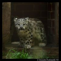 Baby Snow Leopard X by TVD-Photography