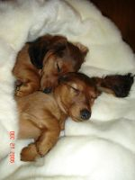 Dachshund puppies sleeping by ladythalia