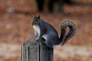 Squirrel on Post by vasasphotography