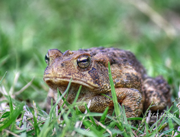 Mr. Toad by Alabamaphoto