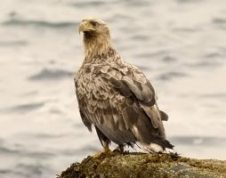 White-tailed Eagle 04 by nordfold