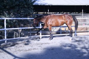 bay horse stock 25 by xbr0kendevotion