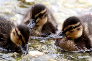 Ducklings by Dodephine