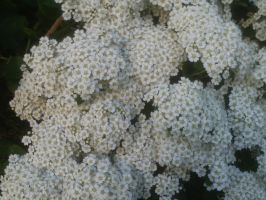 baby's breath explosion by BlueIvyViolet