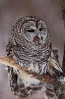 Barred owl by tekk1e