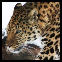 Amur leopard by Globaludodesign