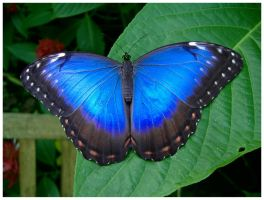 Blue Butterfly by AndyBuck