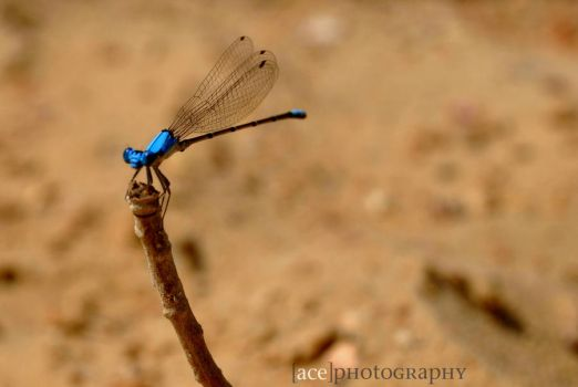 Dragonfly by Andrewsux