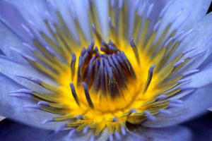 Water Lily Heart 02 by andras120