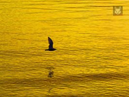 Golden Seagull Reflection by wolfwings1