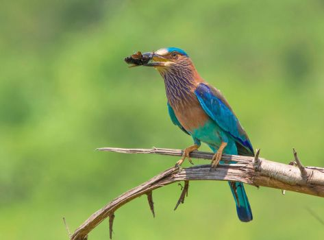 Indian roller by missfortune11