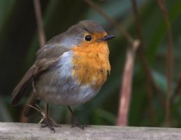 An Irish Robin by superphilman