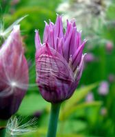 A Chive's Bud - for Tea by JocelyneR