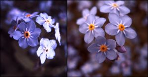 forget-me-not by LuciaLacrimabundus