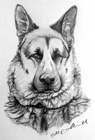 German Shepherd by xDoglate