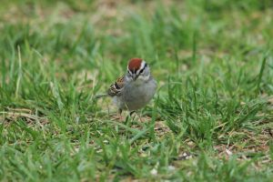 chipping sparrow by Laur720
