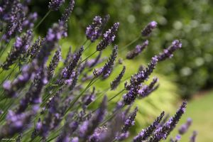 Lavender by George---Kirk