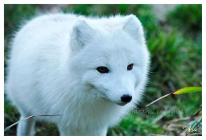 Arctic Fox by AzureWindProductions