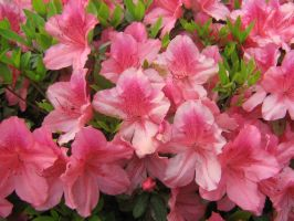pale pink azaleas 04 by CotyStock