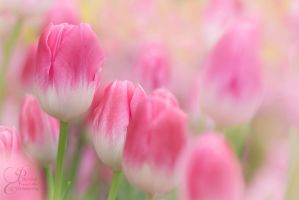 Tulips by PassionAndTheCamera