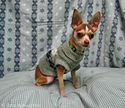 Stylin' and Profilin' Chihuahua by HumaneFotos
