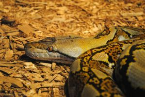 Reticulated Python by 8TwilightAngel8
