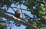 Bald Eagle on the Eleven Point 2 by SplitSecondStudio