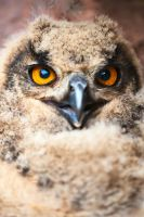 baby eagle owl by mescamesh