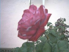 rose 10 by the-alyshleigh-stock
