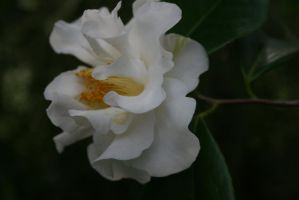 white camellia 11 by ingeline-art