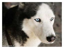 Wolf by sixhundredsixty